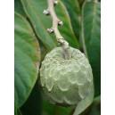 Flaszowiec Miękkociernisty (Annona Muricata) nasiona