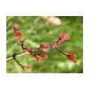 Klon Palmowy (Acer Palmatum) Sadzonki