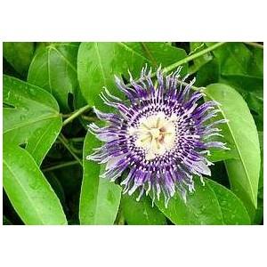 Męczennica (Passiflora Edulis) 50 nasion w Cenie 40!