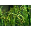 Ryż 50 nasion w Cenie 40!