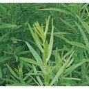 Estragon (Astremisia Dracunculus) nasiona
