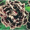 Goździk Chiński Chianti (Dianthus chinensis) nasiona