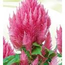 Celozja pierzasta (Celosia argentea plumosa) nasiona
