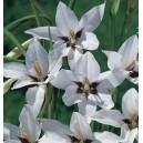 Mieczyk abisyński (Acidanthera murielae) cebulki