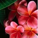 Plumeria (Plumeria rubra) nasiona