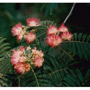 Albicja Jedwabista, Chińskie Drzewko Szczęścia (Albizia Jullibrissin) nasiona