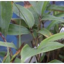 Bambus Trzcinowaty (Bambusa Arundinacea) nasiona