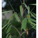 Bambus Tropikalny (Bambusa Nutans) nasiona