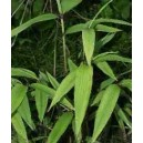 Bambus Tropikalny (Bambusa Vulgaris) nasiona