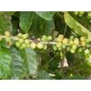 Kawa (Coffea Arabica) nasiona