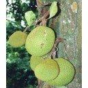 Drzewo Chlebowe, Chlebowiec Różnolistny (Artocarpus Heterophyllus) sadzonki