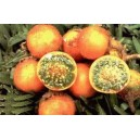 Naranjila Owocująca (Solanum Quitoense) nasiona