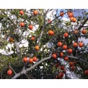 Diospyros Rhombifolia nasiona