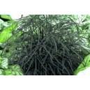 Dizygoteka Najwytworniejsza (Diozygotheca Elegantissima) nasiona