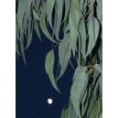 Eukaliptus (Eucaliptus Dalrympleana) nasiona