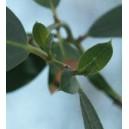 Eukaliptus (Eucaliptus Ridsonii) nasiona