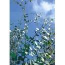Eukaliptus (Eucaliptus Johnstonii) nasiona