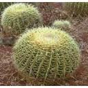Kaktus Fotel Teściowej (Echinocactus Grusonii) nasiona