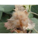 Bawełna (Gossypium Australe) nasiona