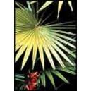 Palma Livinstonea Chinensis nasiona