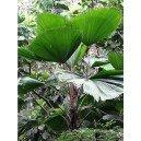 Palma Wachlarzowata (Licuala Grandis) nasiona