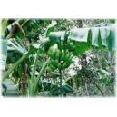 Bananowiec (Musa Sikkimensis) nasiona