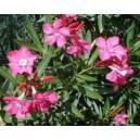 Oleander (Nerium Oleander) nasiona