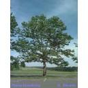 Platan (Platanus Acerifolia) nasiona - wyprzedaż