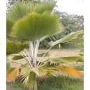 Palma Pritchardia Pacifica nasiona