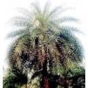 Daktylowiec Leśny (Phoenix Sylvestris) nasiona