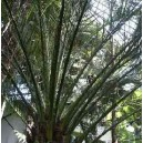 Daktylowiec (Phoenix Dactylifera) nasiona