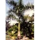 Palma Królewska (Roystonea Regia) nasiona