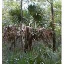 Palma Sabalowa (Sabal Texensis) nasiona