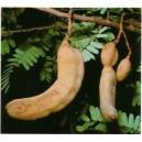 Tamarynd (Tamarindus Indica) nasiona