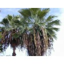 Palma Washingtonia Robusta - nasiona 20 szt