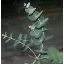 Eukaliptus (Eucaliptus Moorei) nasiona