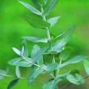 Eukaliptus (Eucaliptus Archeri) nasiona