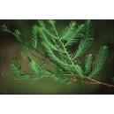 Cypryśnik Błotny (Taxodium Distichum) nasiona