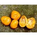 Eugenia Victoriana nasiona