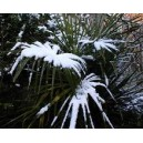 Szorstkowiec Fortunego Palma (Trachycarpus Fortunei) sadzonki 5-7 liści