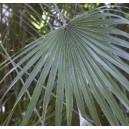 Palma Sabalowa (Sabal Mexicana) sadzonki 1-2 liście