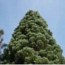 Mamutowiec Olbrzymi (Sequoia Giganteum) sadzonki