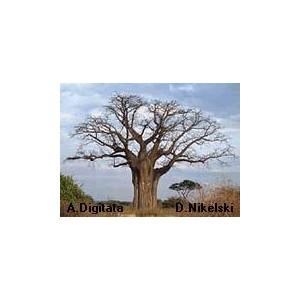 Baobab (Adansonia Digitata) sadzonki
