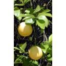 Grapefruit (Citrus Paradisi) sadzonki