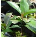 Mangostan (Garcinia Mangostana) Mangosteen Sadzonki (stosowane do Produkcji ZENTHONIC)