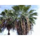 Washingtonia Robusta (Palma) sadzonki