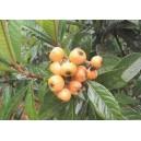 Nieszpułka, Miszpelnik Japoński (Eriobotrya Japonica) sadzonki