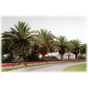 Palma Daktylowiec Kanaryjski (Phoenix Canariensis) sadzonki