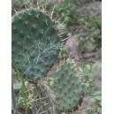 Opuncja (Opuntia Engelmanii) 2 letnie sadzonki