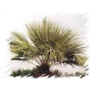 Palma mrozoodporna (Trachycarpus Fortunei) sadzonki 4-7 liście